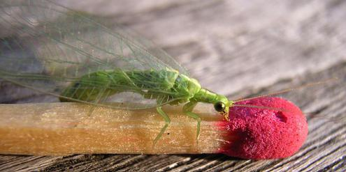 Florfliege, lacewing, Hilbeck, Agroscope