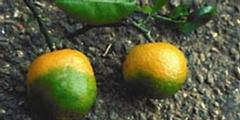Citrus Greening, Hualongbing, Antibiotics