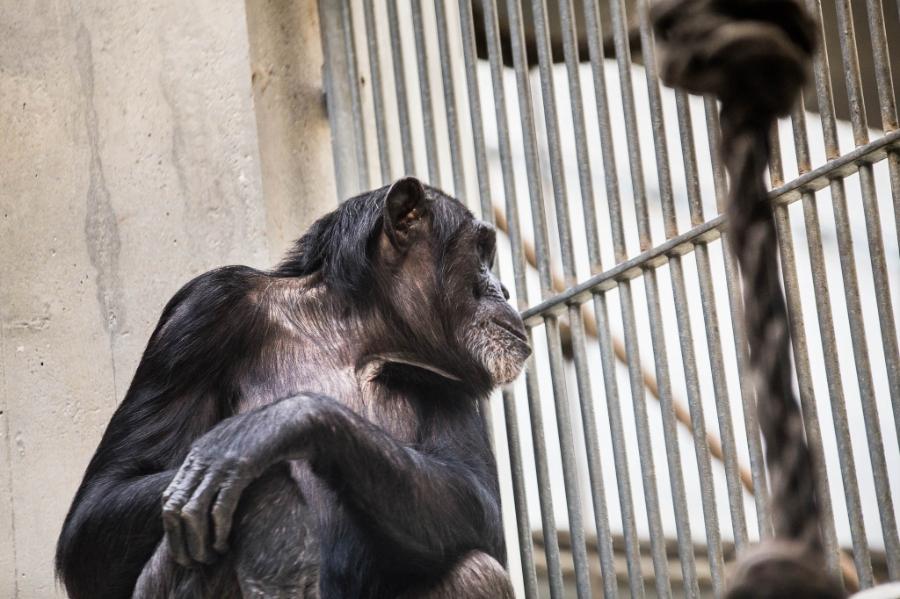 SchimpanseimZooBasel