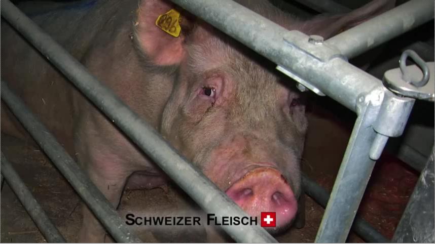 schwein_vgt