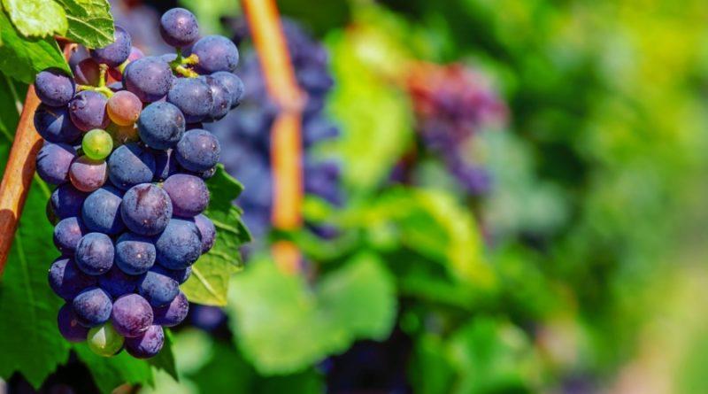 grapes3661092_1920