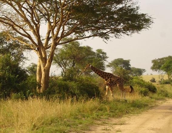 Uganda_MurchisonFallsgiraffe