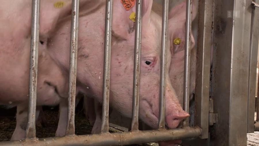 Schweine1