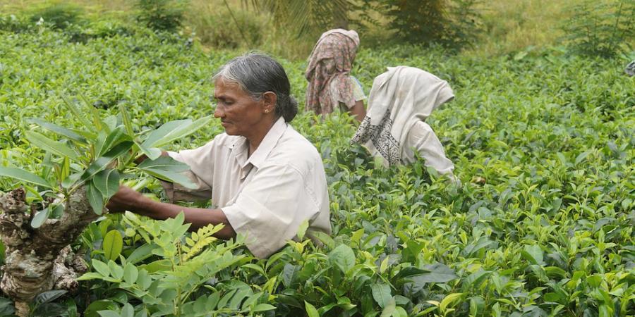 Teepantage_Indien