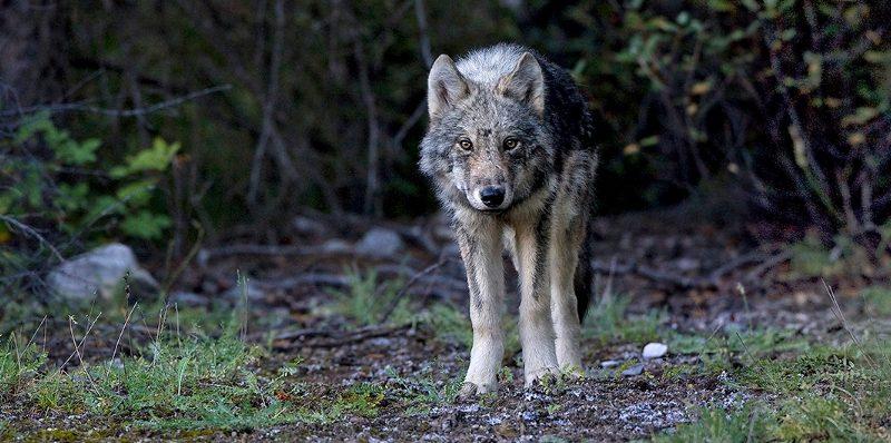 Wolfsbildbreit