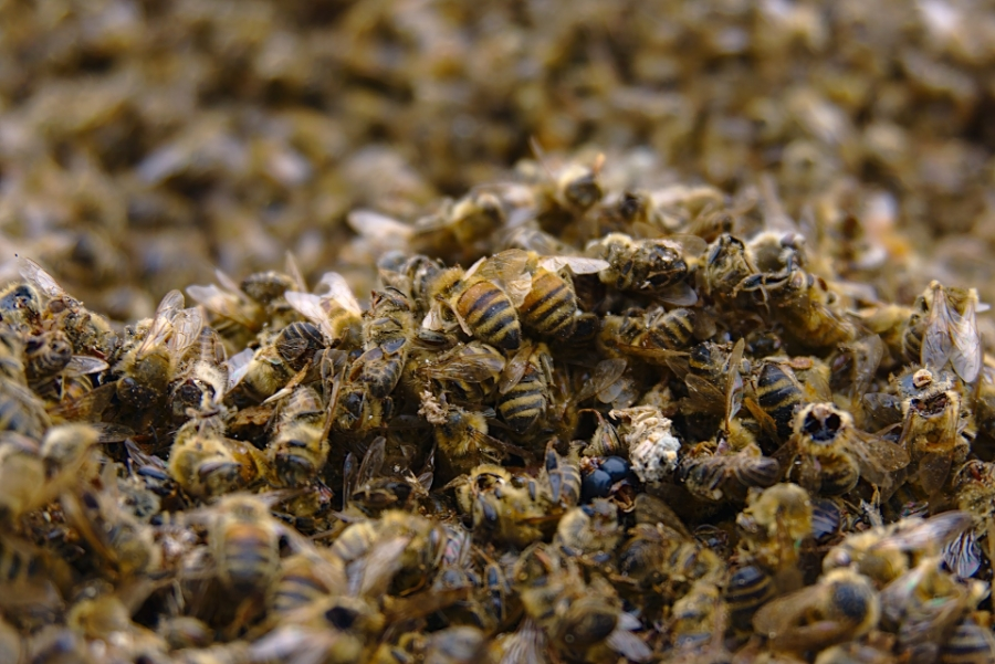 bees4161580_1920