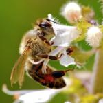 Bienen_Befruchtet