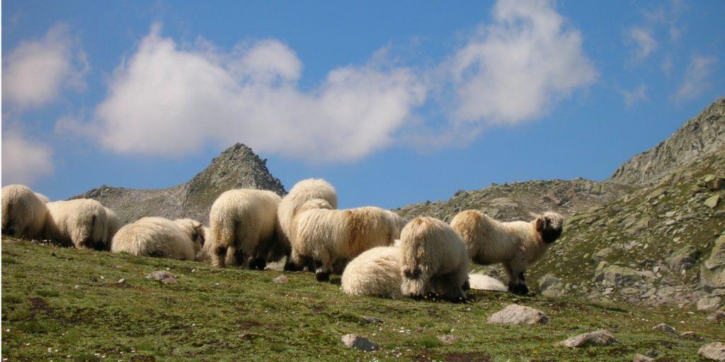 Schafe Grimsel