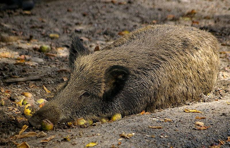 Verstrahlte Schweine - das Erbe von Tschernobyl